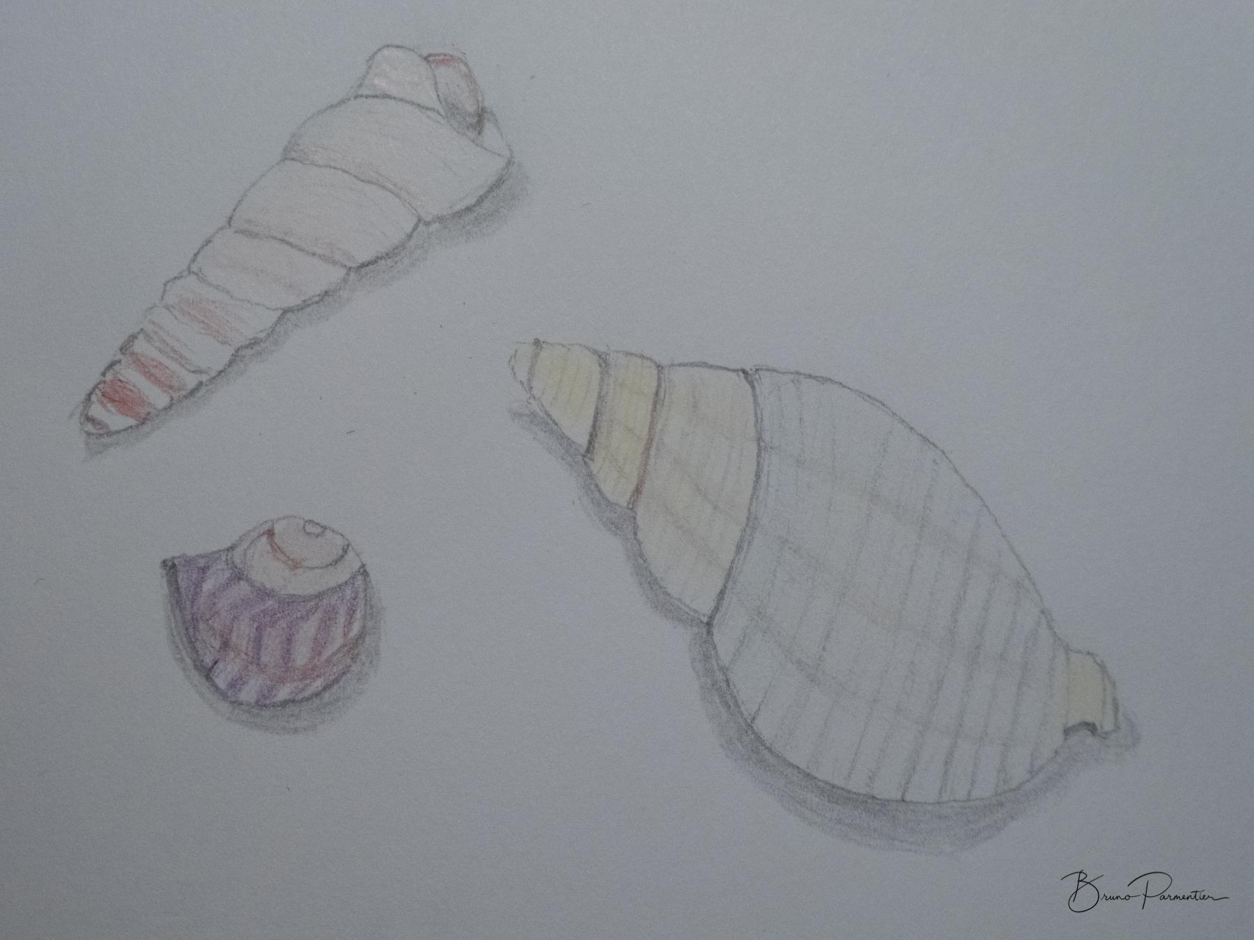 Trois coquillages (crayon et crayon de couleur - d'après nature - 06.03.2018)