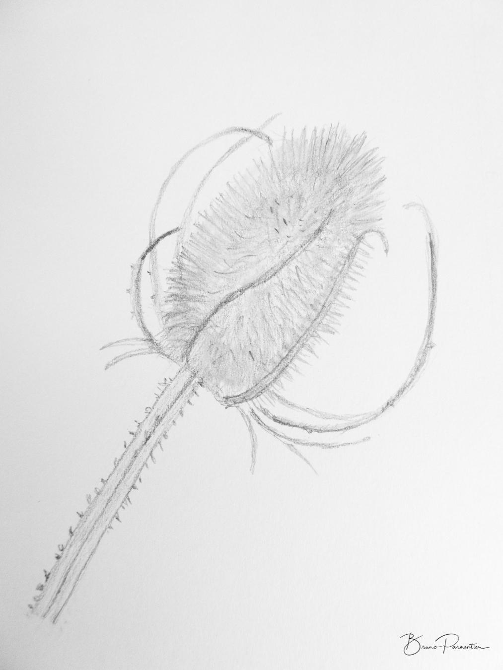 Cardère (crayon - d'après photo - 02.07.2018)
